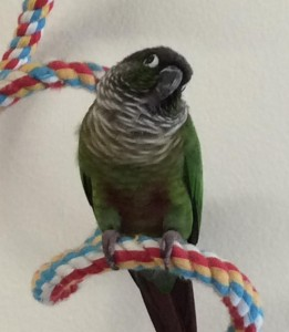 Green Cheek Conure on a rope boing