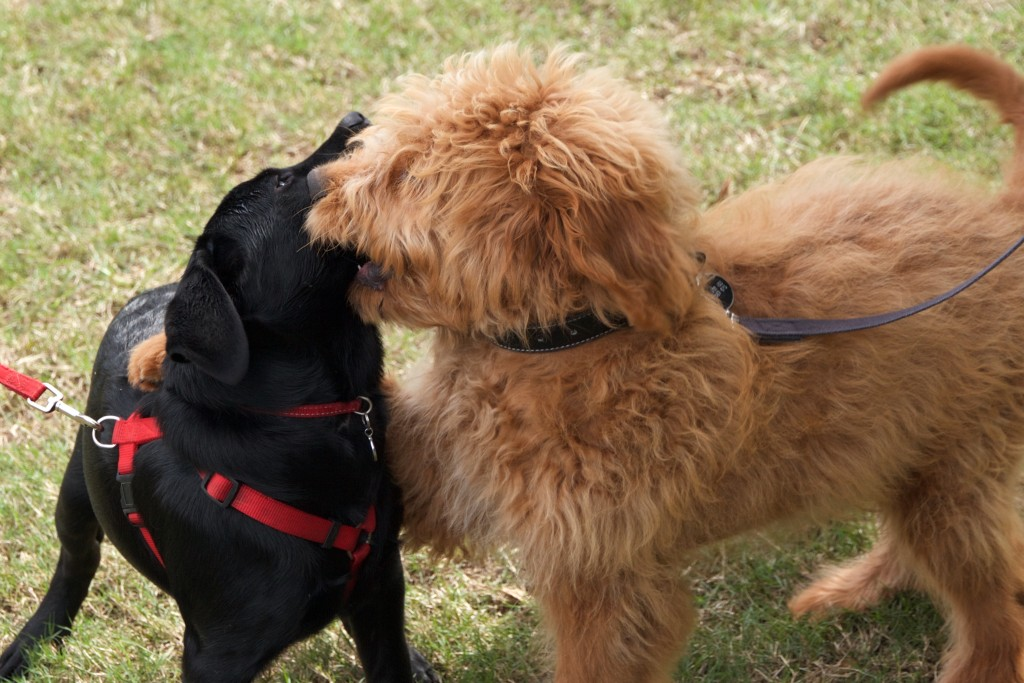 Two puppies playing politely during a puppy class